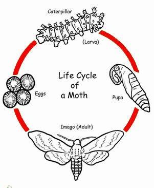 ciclo de vida de la polilla