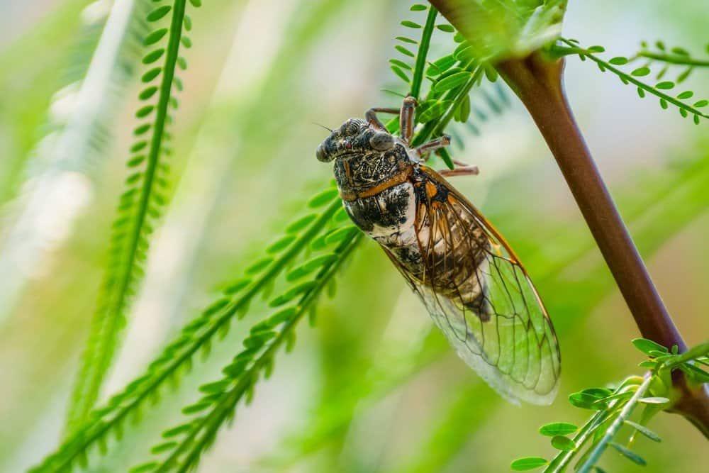 Cantantes de los Insectos Reino – Cigarras