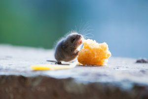 Una rata está comiendo un queso