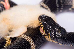Serpiente de agua comiendo su presa pollo aislado en blanco