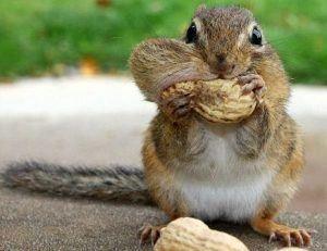 Una ardilla está comiendo nueces