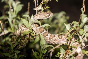 Serpiente de cascabel acostado en el árbol