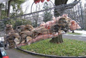 Muchas ardillas en la jaula.