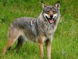 coyote en la naturaleza