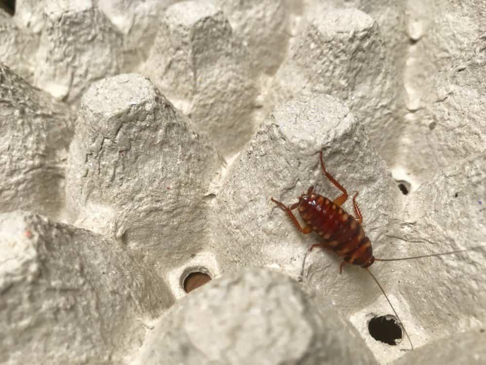 Una cucaracha de bandas marrones