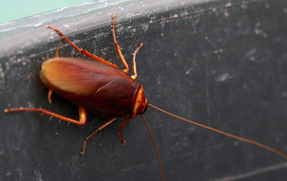 Una cucaracha está escalando en la pared