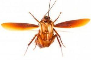 Volando alemán cucaracha en blanco fondo