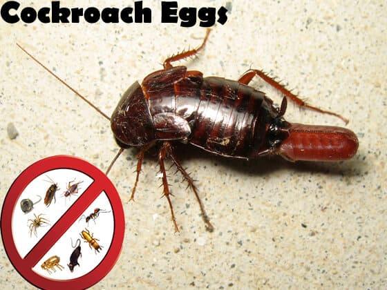 Cucaracha oriental con su huevo