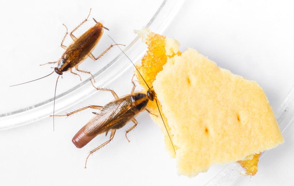 Dos cucarachas alemanas están comiendo galletas de queso