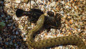 Una serpiente de la boca de algodón está comiendo una rana de toro