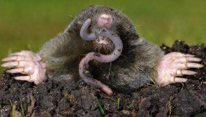 Un topo está comiendo una lombrices de tierra