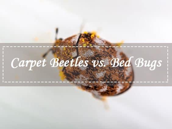 Un escarabajo de alfombra marrón en las sábanas