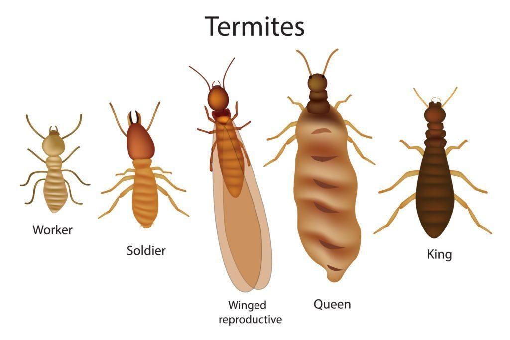 Una breve división de termitas en el fondo blanco