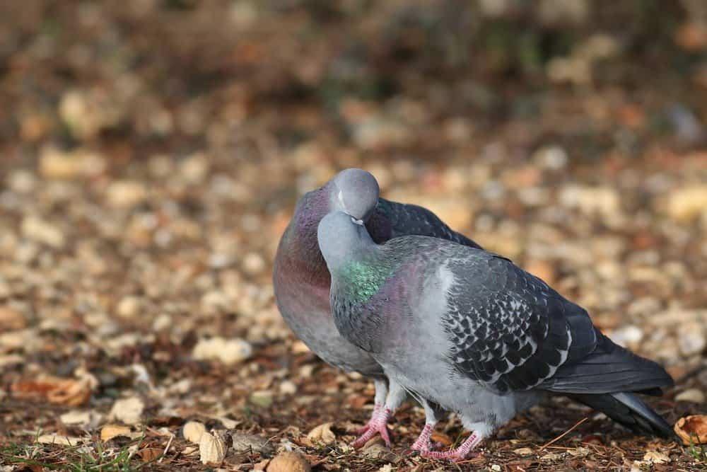 Dos palomas se están besando