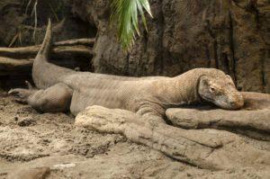 Un dragón de Komodo está durmiendo en el suelo.