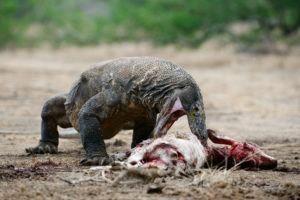 El dragón de Komodo está comiendo una víctima.