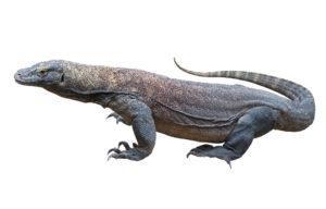 Dragón de Komodo aislado en el blanco.