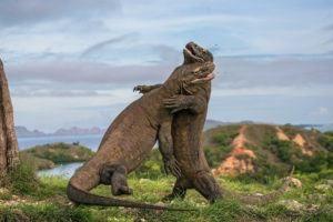 Dos dragones de Komodo luchan entre ellos.