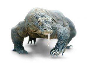 Dragon de Komodo: 5 Hechos Interesantes Más Hechos Divertidos, Mordeduras y Tratamiento
