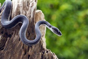7 Repelentes de Serpiente Naturales y Eficaces