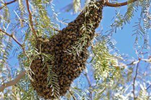 Enjambre de abejas asesinas en medio del aire.