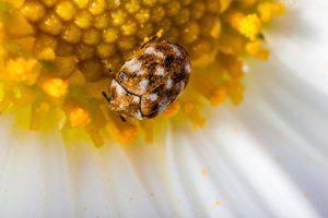 Escarabajo de alfombra en una margarita blanca