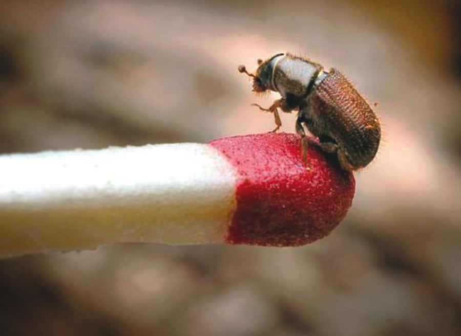 Escarabajos de Corteza – Pequeñas Plagas con Enormes Daños