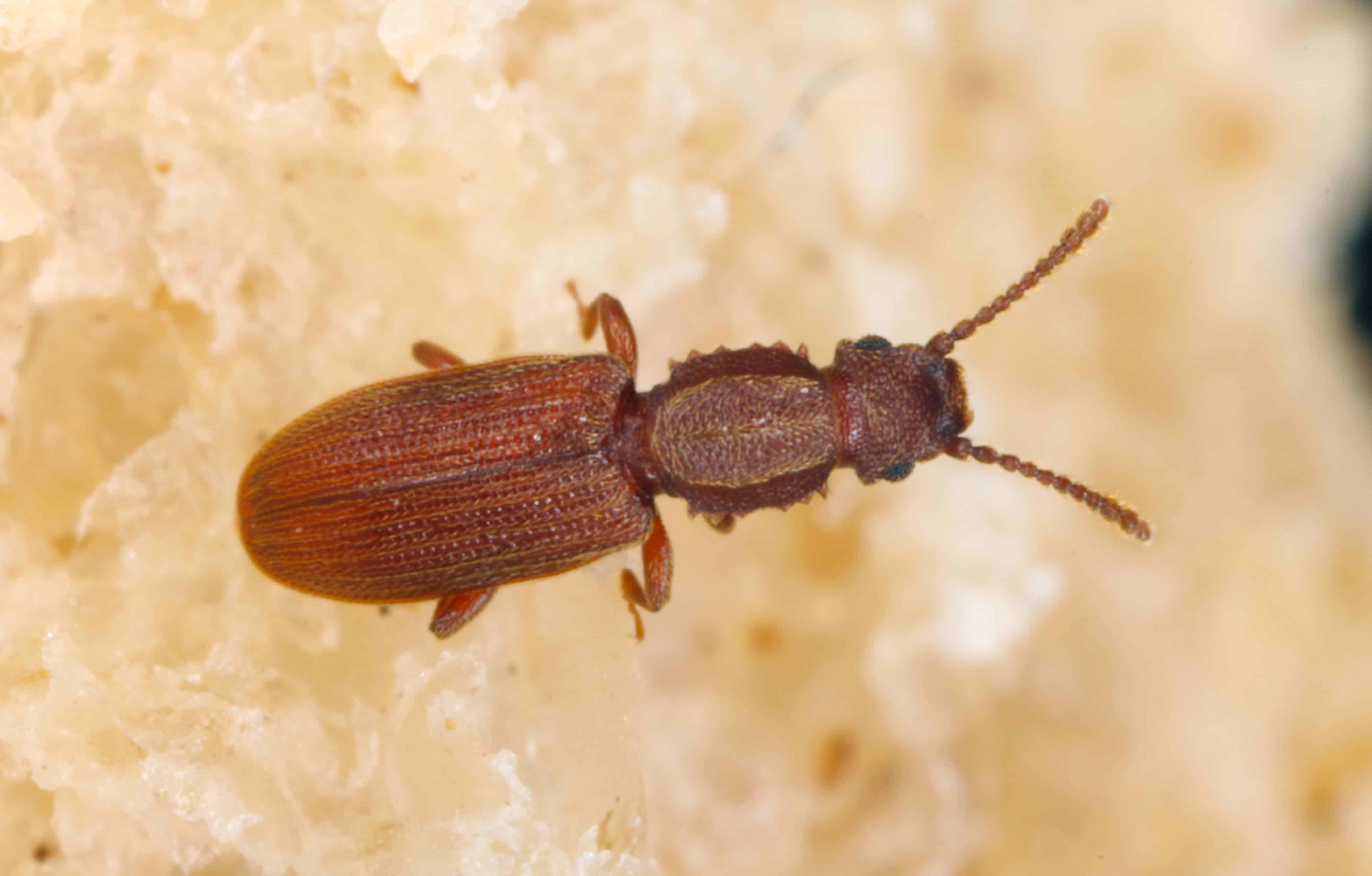 Diferentes Especies de Escarabajo de Grano y Control de Escarabajos de Grano