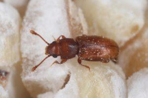 infestación de escarabajos de grano