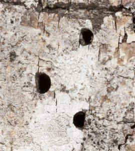 Infestación de Escarabajos Aburridos de Madera