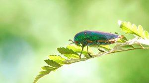 Escarabajos de madera en la naturaleza