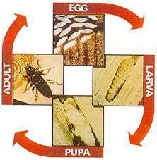 vida útil de Escarabajos Aburridos de Madera