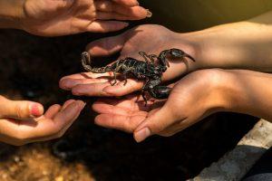 Cómo Mantener un Escorpión como Mascota