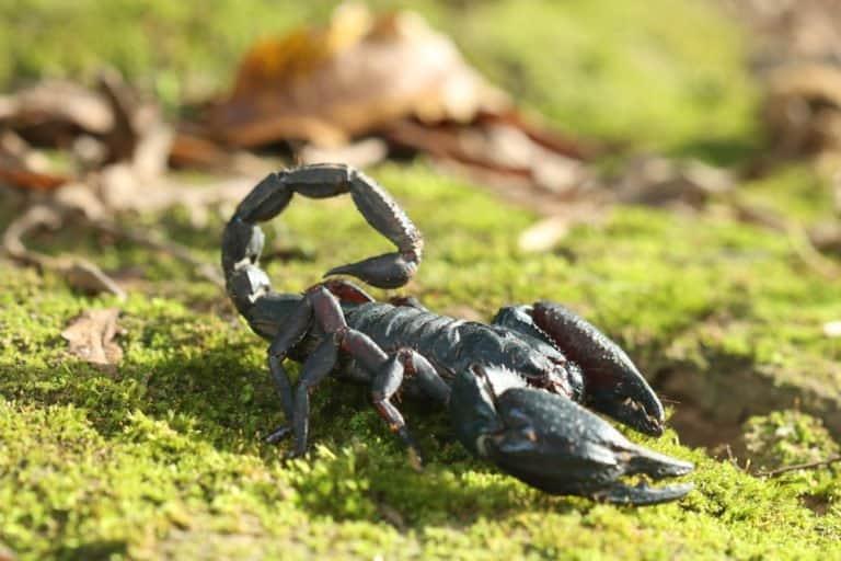 único escorpión negro en la naturaleza.