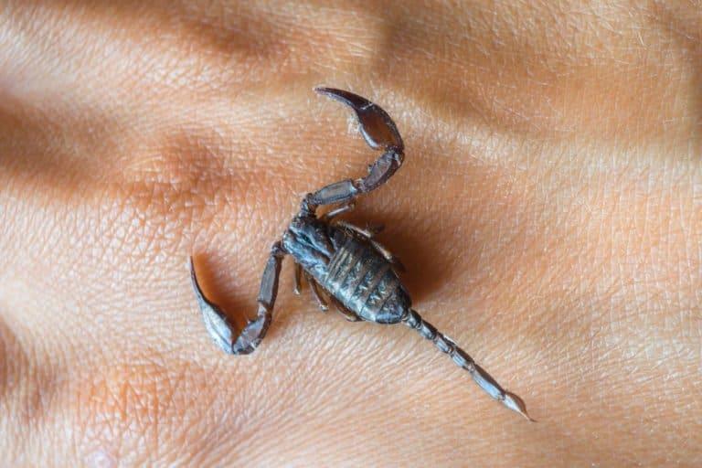 único escorpión negro en las manos