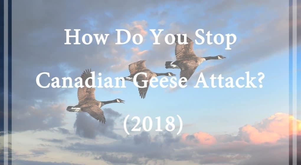 Gansos Canadienses – ¿Cómo Se Detiene el Ataque de los Gansos Canadienses? (2018)