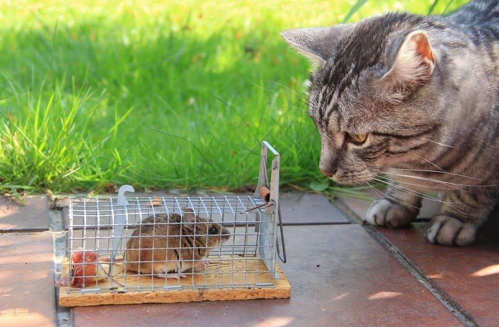 Un gato está mirando al ratón que atrapado en una jaula