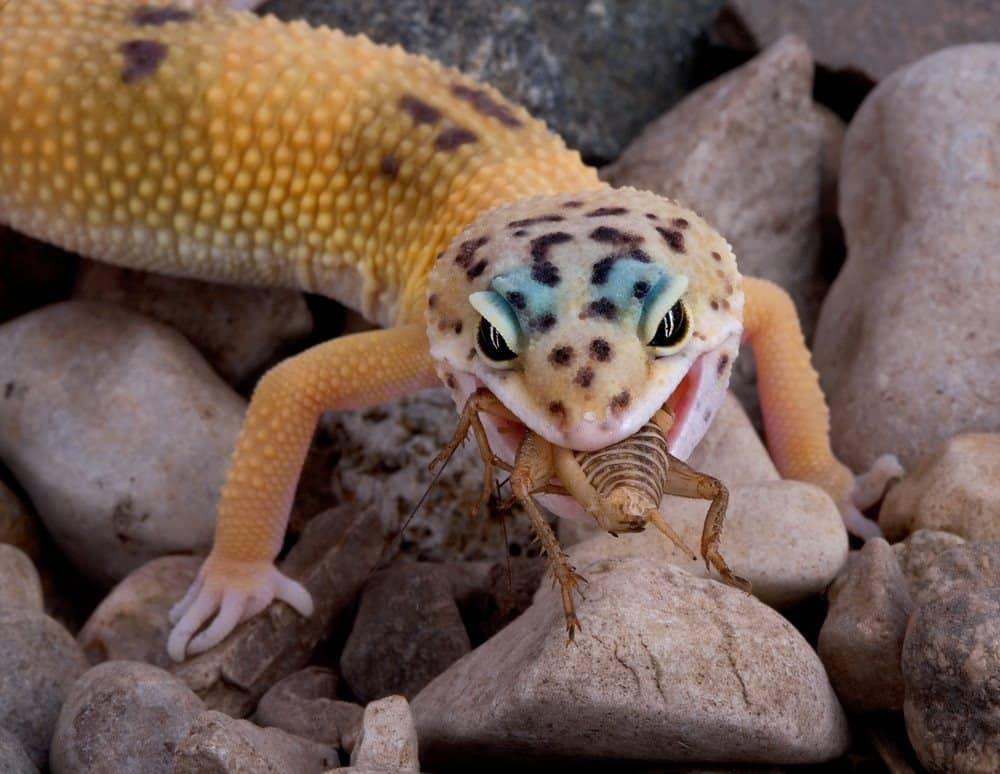 Gecko Leopardo: 6 Características Físicas y 4 Tipos de Leopardo Gecko
