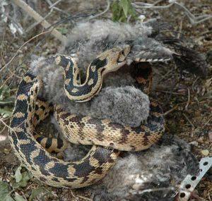 Serpiente gopher comiendo un búho