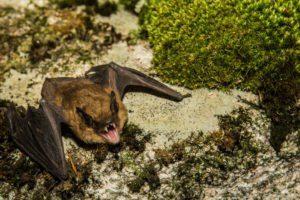 Gran murciélago marrón en la naturaleza.
