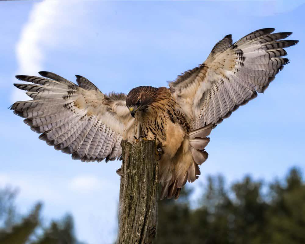 Una gran paloma está volando en el cielo