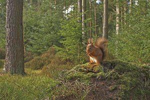 Ardilla roja en el bosque.