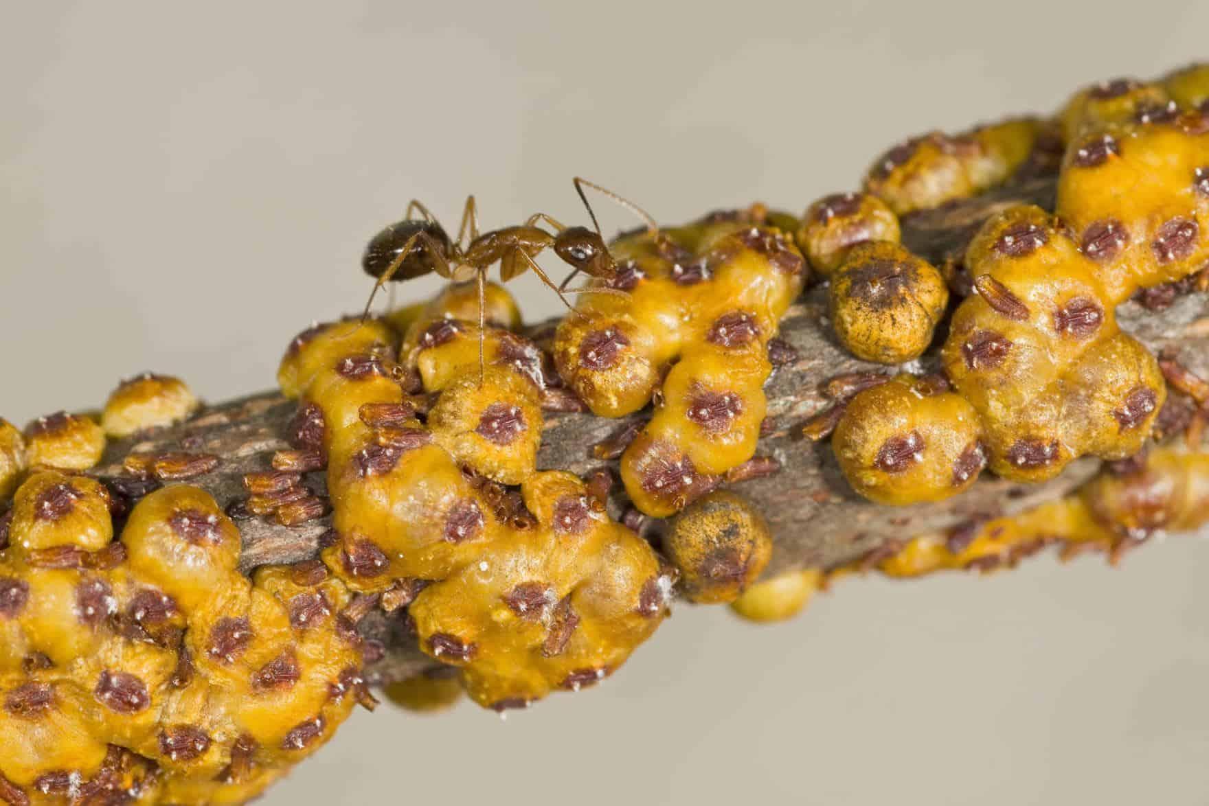 Información Esencial e Información Interesante Sobre las Hormigas Locas