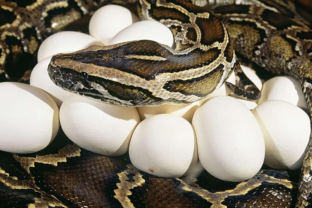 Serpiente y sus huevos