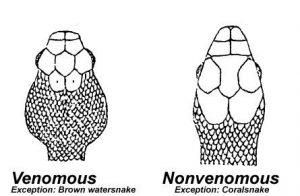 Consejos para Identificar una Serpiente Venenosa