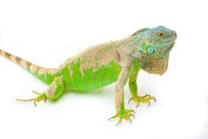 La iguana verde se sienta en el blanco.