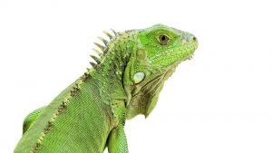 Cerca de la cabeza de una iguana verde.