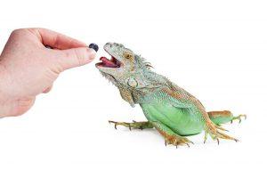 Iguana Verde: 5 Datos Interesantes y 6 Otras Especies