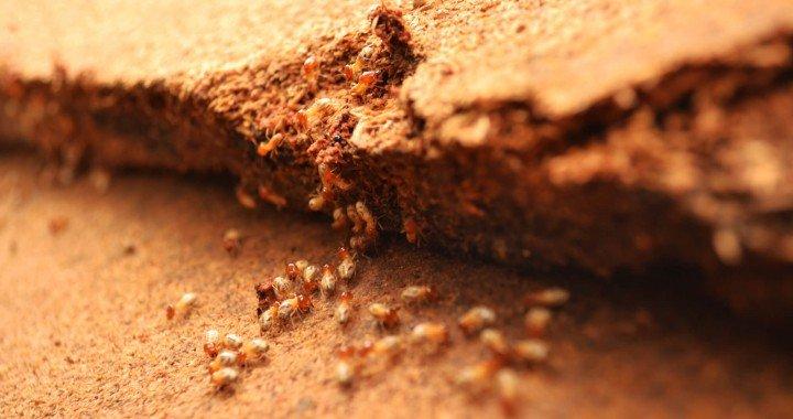 Termitas bajo el suelo
