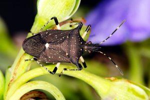 Insecto Soldado Hilado -Ciclo de Vida, Identificación y Beneficios